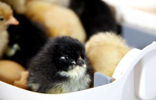 kyckling1