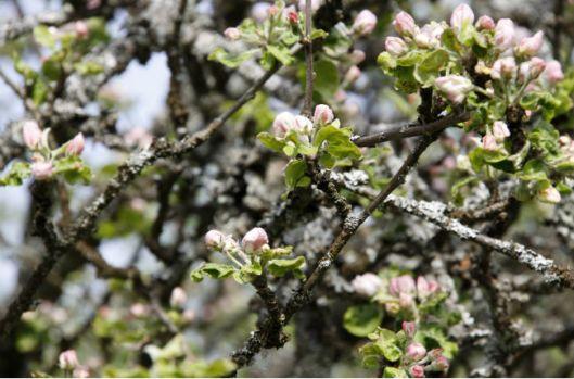 springbloom1