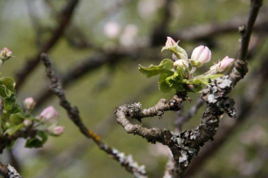springbloom2